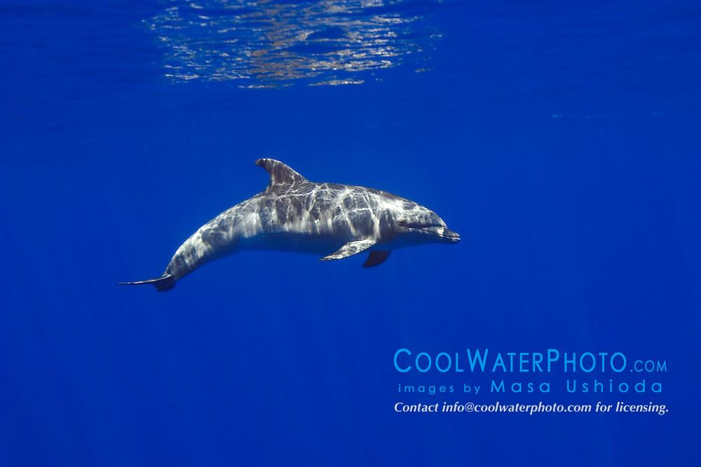 wild bottlenose dolphin, Tursiops truncatus, off Kona Coast, Big Island, Hawaii, Pacific Ocean.
