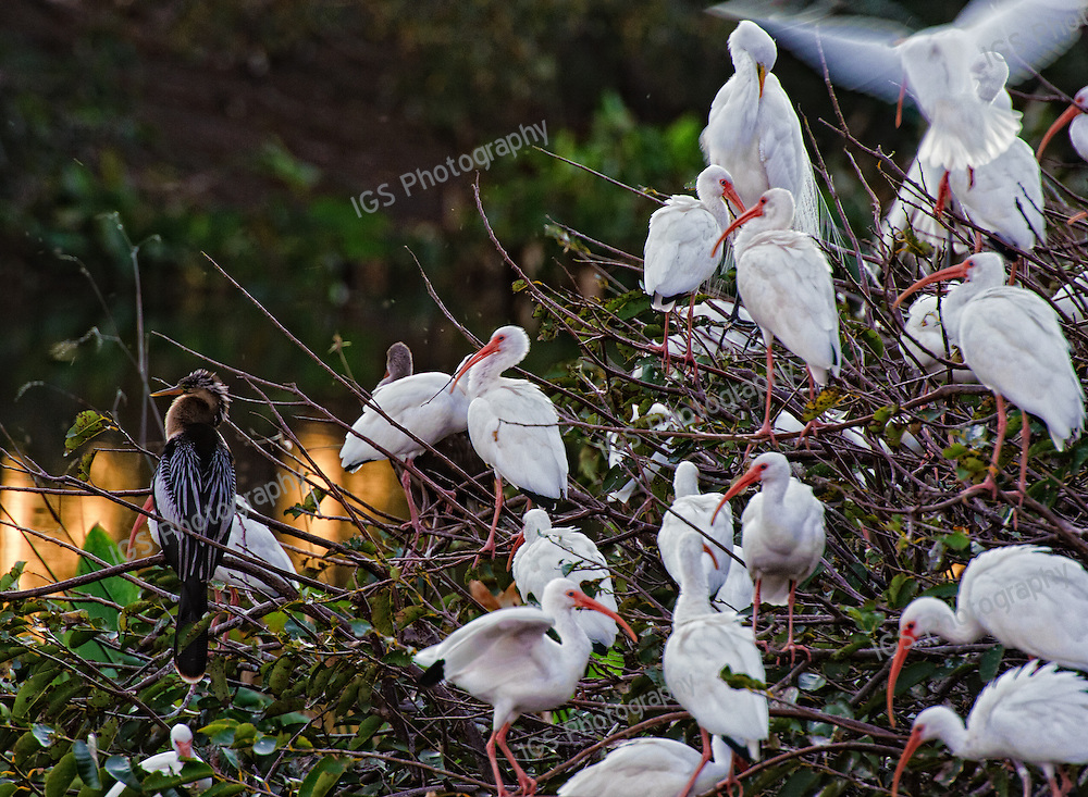White Ibis and Anhinga roosting in trees at Wakodahatchee Wetlands