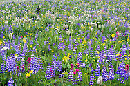 An alpine meadow full of wildflowers including Broadleaf Lupine (Lupinus latifolia), Common Paintrush (Castilleja miniat) and Broadleaf Arnica (Arnica latifolia) at Tipsoo Lake in Mount Rainier National Park in Washington State, USA.