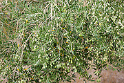 Olive branch on tree in Val D'Orcia, Tuscany, Italy