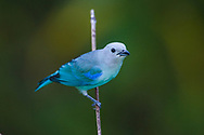Blue-gray tanager (Thraupis episcopus neosophilus) perched in the canopy. Trinidad