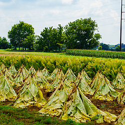 East Earl, PA, USA - August 19, 2020: Tobacco that has been cut and speared, now dries in a Lancaster County field in late summer, before being taken to  a barn.