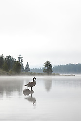 """""""Canadian Goose at Prosser Reservoir"""" - This Canadian Goose was photographed on a foggy morning at Prosser Reservoir, near Truckee, CA."""
