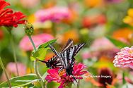 03006-00506 Zebra Swallowtails (Protographium marcellus) on Zinnia Union Co. IL