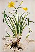 Hand drawn ancient Botanical illustration of a yellow Hemerocallis lilioasphodelus published c 1550 AKA lemon daylily, lemon lily and yellow daylily