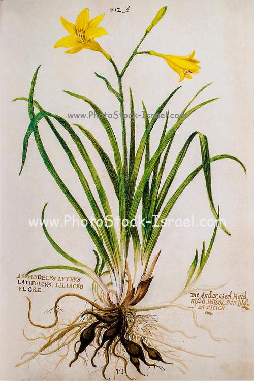 Hand drawn ancient Botanical illustration of a yellow Hemerocallis lilioasphodelus published c 1550 AKA lemon daylily, lemon lily and yellow daylily