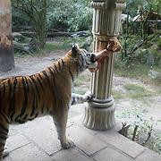 NL/Amersfoort/20200813 -  Bilal Wahib schept tijgerpoep in de  dierentuin, Siberische tijger trekt aan zijn eten