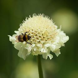 Bee on Cephalaria gigantea. Giant scabious