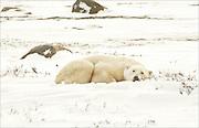 A polar bear takes a short nap on the tundra of the Canadian Arctic.