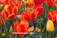 65021-029.08 Orange and yellow tulips (Tulipa sp), MO
