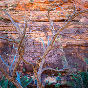 Detail of lone tree and red rock wall at Kings Canyon