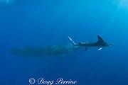 striped marlin, Tetrapturus audax, swims past Bryde's whale, Balaenoptera brydei or Balaenoptera edeni, off Cabo San Lucas, Baja California, Mexico ( Eastern Pacific Ocean )