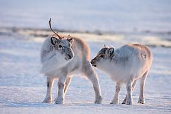 Reindeer at Spitsbergen, Svalbard