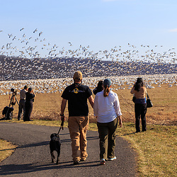 March 8, 2016 - Kleinfeltersville, PA: A couple walks their dog past the migrating snow geese at Middle Creek Wildlife Management Area near the Lancaster-Lebanon county line in Pennsylvania.