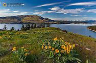 Arrowleaf balsomroot wildflowers in spring on Wild Horse Island State Park near Dayton, Montana, USA