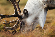 Closeup side view of a reindeer grazing on the Cairngorm mountain range.