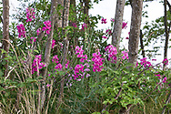 Marsh Peavine (Lathyrus palustris) flowering at Blackie Spit near Crescent Beach in Surrey, British Columbia, Canada.