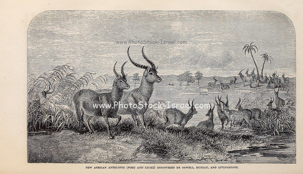 New African Antelopes (Poku and Leche) discovered by Oswell, Murray, and Livingstone From the Book ' Missionary travels and researches in South Africa ' including Sixteen Years Residence in the Interior of Africa. by Dr. David Livingstone Published in New York by Harper & Brothers 1858