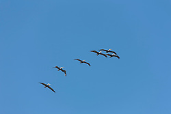 Low angle view of flock of Pelicans flying in the sky, Costa Rica