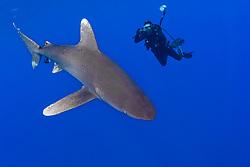 Oceanic Whitetip Shark, Carcharhinus longimanus, swims past photographer in open ocean.  Bahamas, Atlantic Ocean