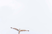 A seagull flies across a white sky, on 27th July 2021, in Deal, Kent, England.