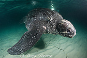 leatherback sea turtle, Dermochelys coriacea ( Critically Endangered species ) with scar at base of flipper, almost certainly caused by fishing gear, Parque Nacional Jaragua, Dominican Republic ( Caribbean Sea )