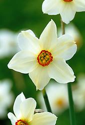 Narcissus poeticus - Pheasant eye narcissus, Poet's narcissus