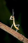 A newly emerged praying mantis nymph (Tenodera sinesis) perches on a branch.