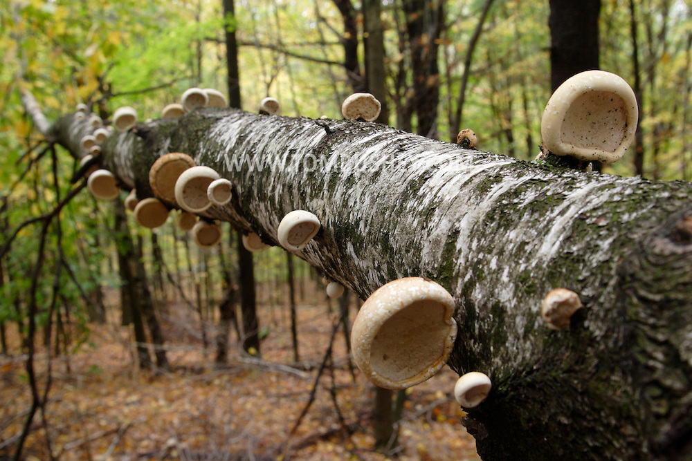 Town of Wallkill, N.Y. - Birch polypore fungus grows on the fallen trunk of a birch tree in  Highland Lakes State Park on Oct. 10, 2007.