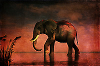 An elephant walks alone. It walks with gradual, grand purpose. It walks against a backdrop of stunning reds and other colors associated with the final moments of sunset. Perhaps, this elephant is walking because the late hour is drawing near. In hardly any time at all, the sky will pass into twilight. Will be the elephant get to where it is going before then? Or will it have to continue its long, weary journey under a blanket of stars. This stunning acryl on canvas piece is available as wall art, on t-shirts, or as a wide range of interior décor products. .<br /> <br /> BUY THIS PRINT AT<br /> <br /> FINE ART AMERICA<br /> ENGLISH<br /> https://janke.pixels.com/featured/walk-alone-jan-keteleer.html<br /> <br /> WADM / OH MY PRINTS<br /> DUTCH / FRENCH / GERMAN<br /> https://www.werkaandemuur.nl/nl/shopwerk/Dierenrijk---Olifant-loopt-alleen-door-het-water/437105/134