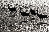Black-necked crane, Grus nigricollis, Napa Lake, Yunnan province, China