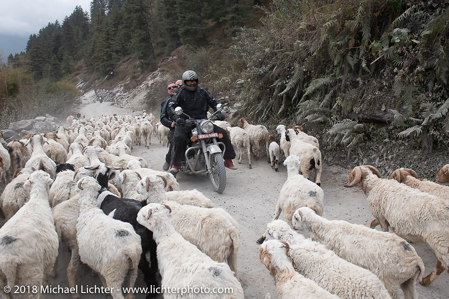 3-up! Beanre (Kevin Doebler), Scotty Busch and Danny Ochs cut through a herd of sheep on the road on day-5  of our Himalayan Heroes adventure riding from Kalopani through the Mustang District to our highest elevation of the trip at over 12,000' when we reached Muktinath, Nepal. Saturday, November 10, 2018. Photography ©2018 Michael Lichter.