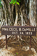 Celebrity planted banyan tree (Mrs. Cecil B. DeMille) on Banyan Drive, Hilo, The Big Island, Hawaii USA