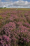 Ling heather growing on Exmoor, Devon, U.K.