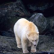 Kermode Black Bear, (Ursus americanus) White color phase; Known as Spirit Bear.Princess Royal Island. British Columbia. Canada.