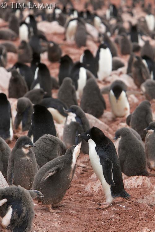 Adelie Penguin (Pygoscelis adeliae) behavior on Paulet Island, Weddell Sea.