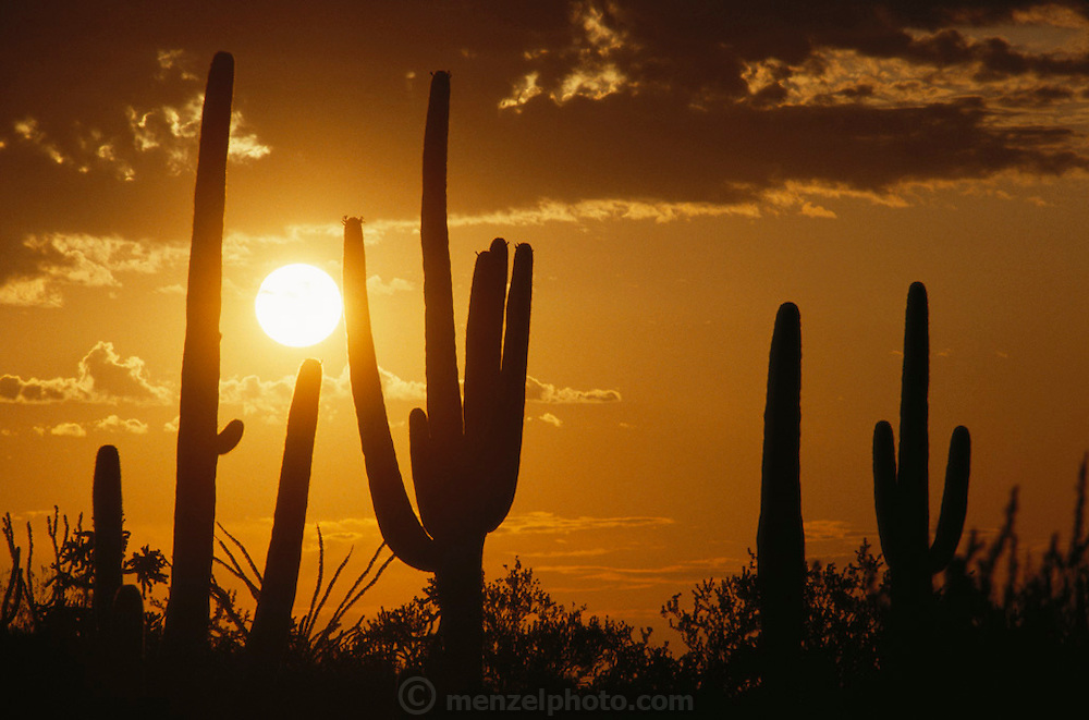 Arizona sunrise with saguaro cacti (Carnegiea gigantea) near Tucson, Arizona, USA.