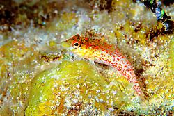 saddled blenny, Malacoctenus triangulatus, Jan's Reef, Cayman Brac, Cayman Islands, Caribbean Sea, Atlantic Ocean