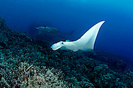 Manta Rays on the Reef, Manta birostris, (Walbaum, 1792), Kona, Hawaii