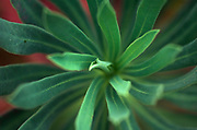 Abstract of green plant, showing form of leaves, radial symmetry, soft focus