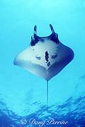 black jack, Caranx lugubris, approaches manta ray, Mobula birostris (formerly Manta birostris),  at cleaning station to pick off parasites, San Benedicto, Revillagigedos Islands ( Socorro Islands ), Mexico, Revillagigedo Archipelago National Park, a UNESCO World Heritage Site ( Eastern Pacific Ocean )