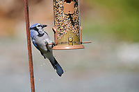 Blue Jay (Cyanocitta cristata) on bird feeder, Cherry Hill, Nova Scotia, Canada