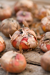 Bulbs of Gladiolus 'Arabian Night' ready to be planted