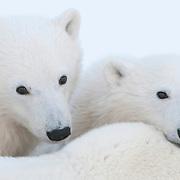 Two polar bear (Ursus maritimus) cubs use their mother as a head rest near Churchill, Manitoba, Canada.