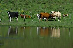 Rebanho bovino as margens de açude.FOTO: Jefferson Bernardes/Preview.com