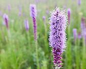 Prairie Forbs & Grasses