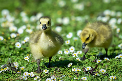 © Licensed to London News Pictures. 06/05/2020. Rickmansworth, UK.  Members of a large clutch of Canada Goose goslings amongst daisies during warm weather at Rickmansworth Aquadrome in the north west of the capital.  Wildlife has enjoyed the absence of humans around their environment during the ongoing coronavirus lockdown.  Photo credit: Stephen Chung/LNP