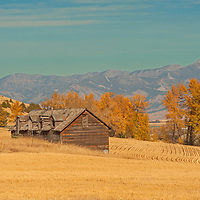 An old barn stands amidst harvested wheat fields in Montana's Gallatin Valley.  The Bridger Mountains rise in the background.