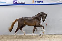 388, Nescio<br /> KWPN Hengstenkeuring 2021<br /> © Hippo Foto - Dirk Caremans<br />  04/02/2021