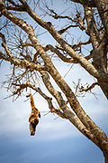 A dead Rhesus Macaque monkey hanging by the feet in a tree near to Raniswara on the 6th of March 2020, Raniswara, Ghairung, Nepal. The Rhesus Macaque is common across Nepal and is considered a pest to farmers for steeling crops and food from their land. Farmers hang dead monkeys from trees to act as a deterrent to others.
